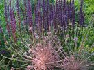 Salvia and Allium fireworks